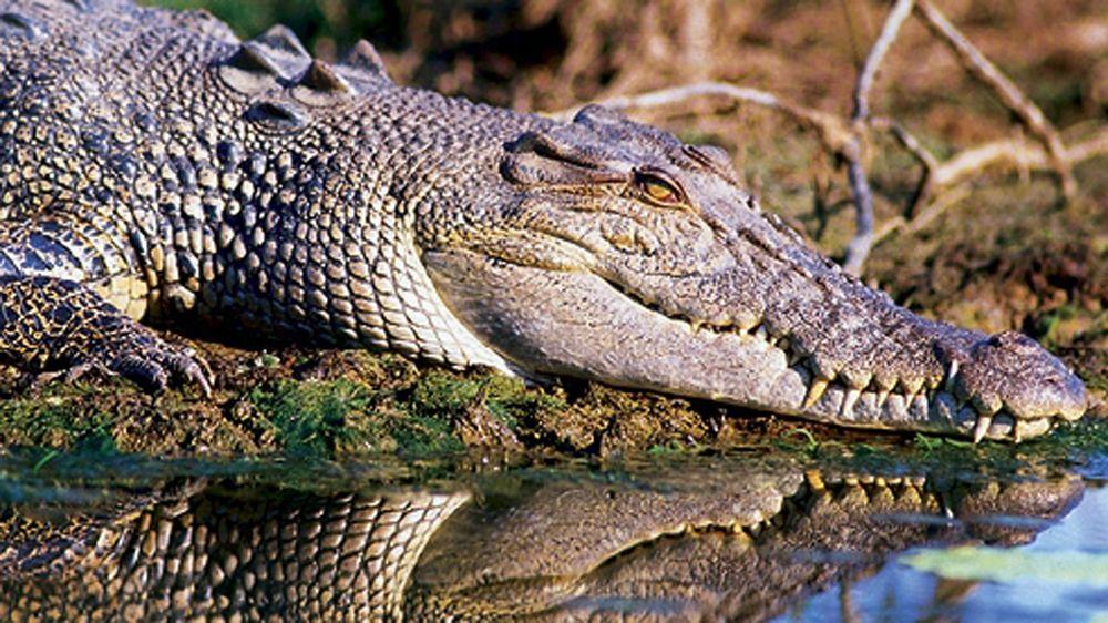 alligator resting on shore