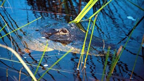 Alligator in Evergaldes