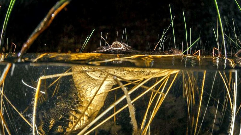 alligator peaking out of the water at night in Florida