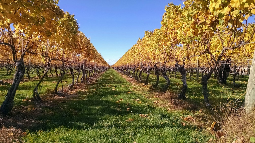 Show item 5 of 5. Landscape view of beautiful wine vineyard.