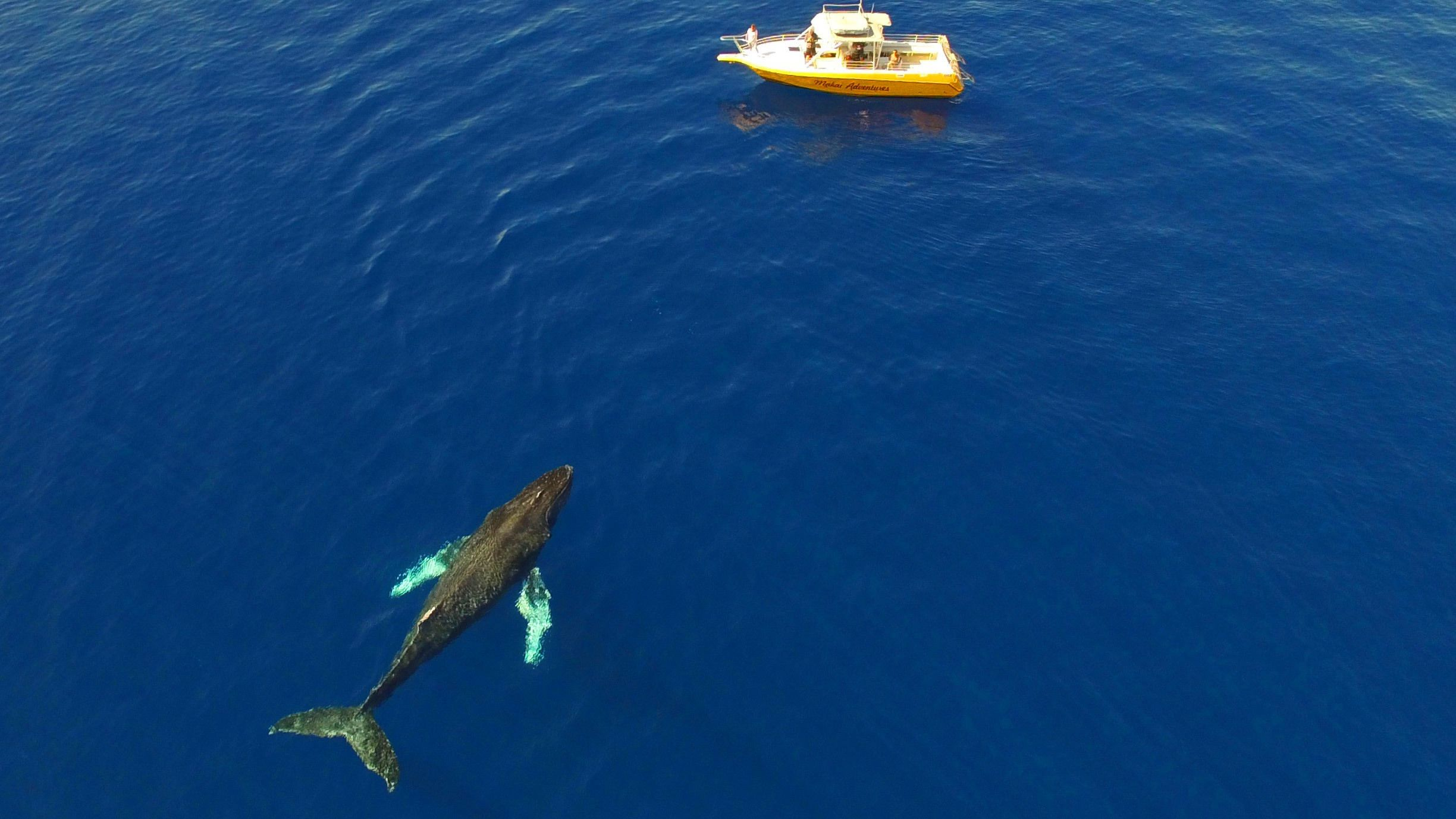 Aerial view of Humpback Whale next to a charter boat