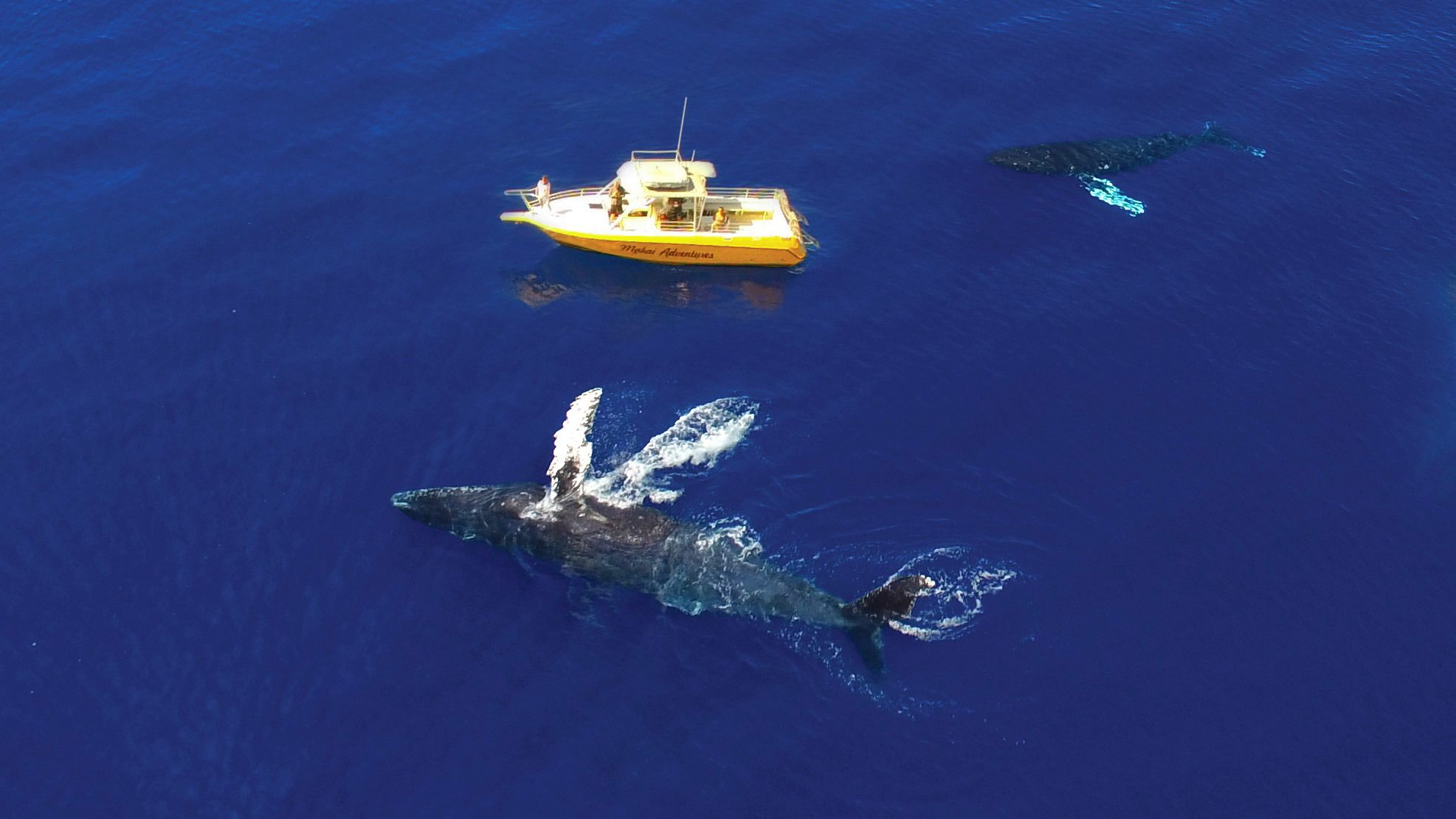 Aerial view of Humpback Whales next to a charter boat