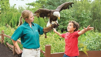Show item 3 of 8. Bald Eagle encounter with professional handler