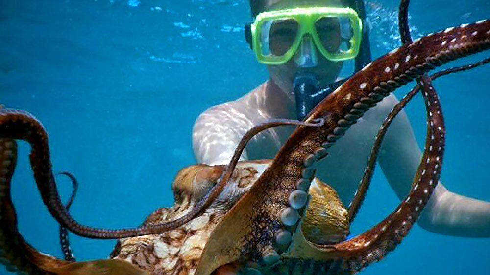 snorkeler handling a small octopus in Maui