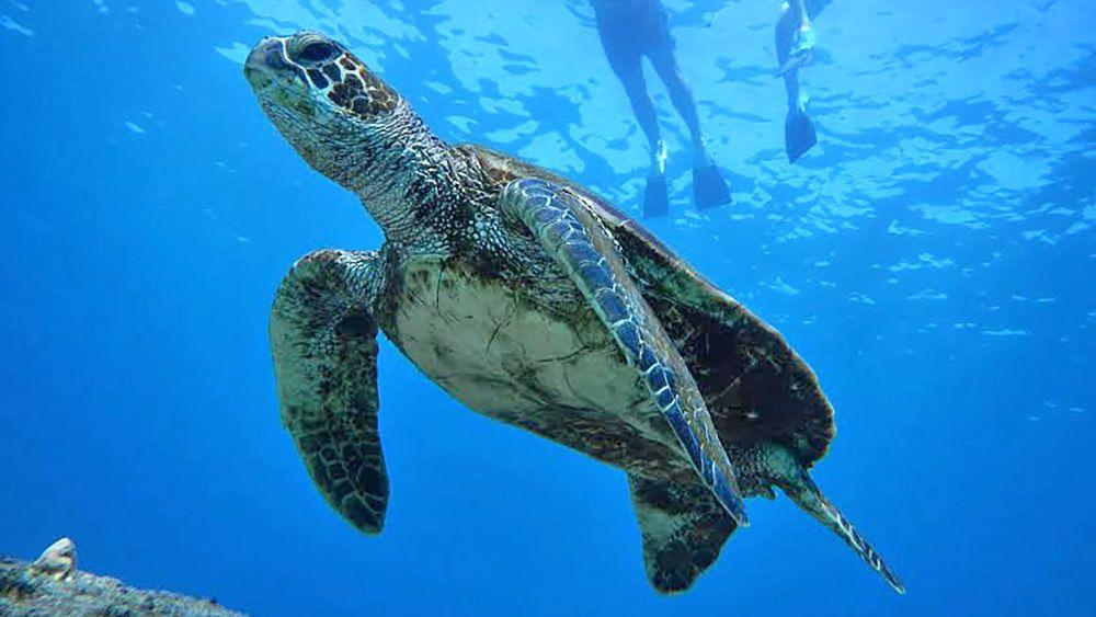 sea turtle swimming past snorkelers in Maui