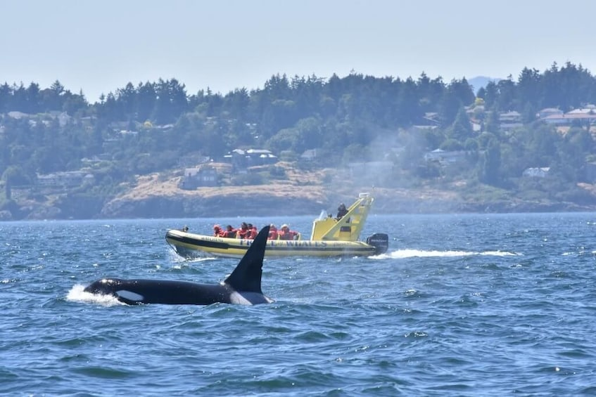 Show item 1 of 6. Zodiac Whale Watching from Victoria