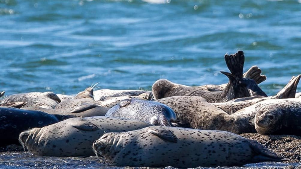 Show item 3 of 6. Seals laying in the sun in Vancouver BC