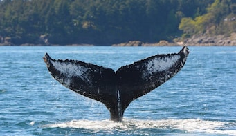 Half-Day Whale Watching (Vancouver, BC)