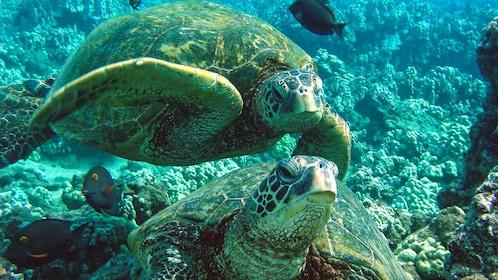 Close up of sea turtles underwater.