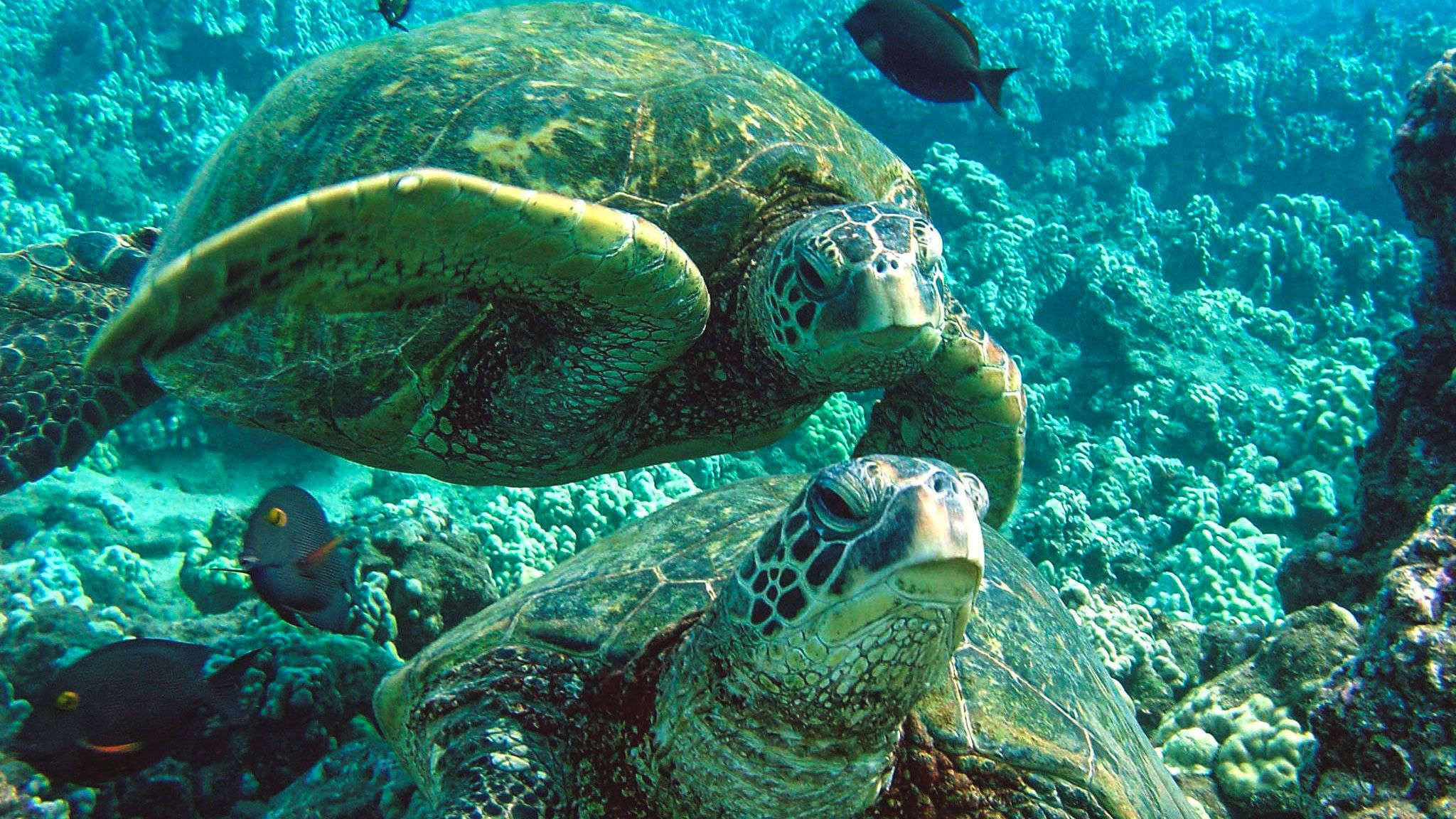 Close up of sea turtles underwater in Maui