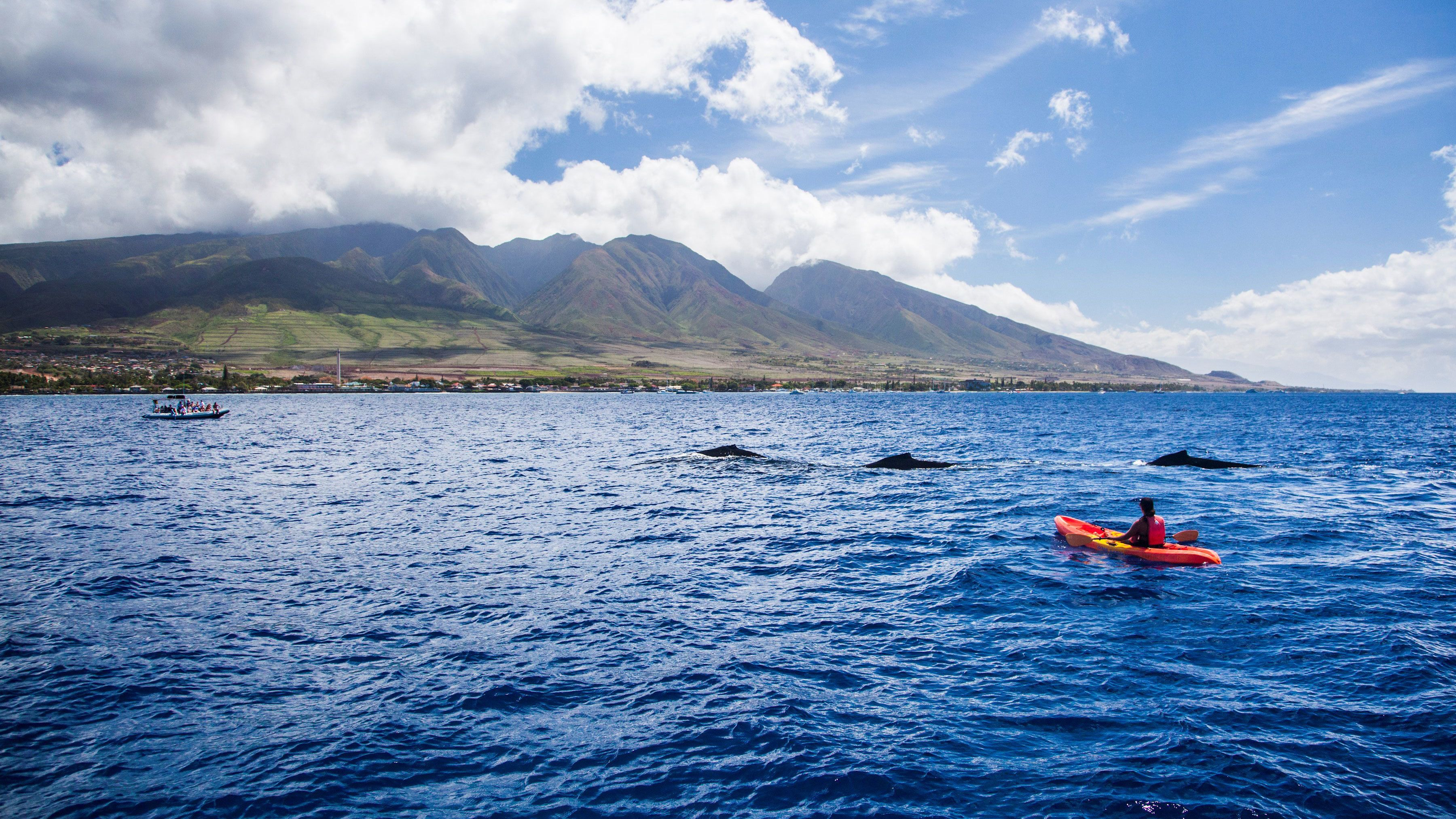 Kayaker looks on at whales swimming nearby in Maui