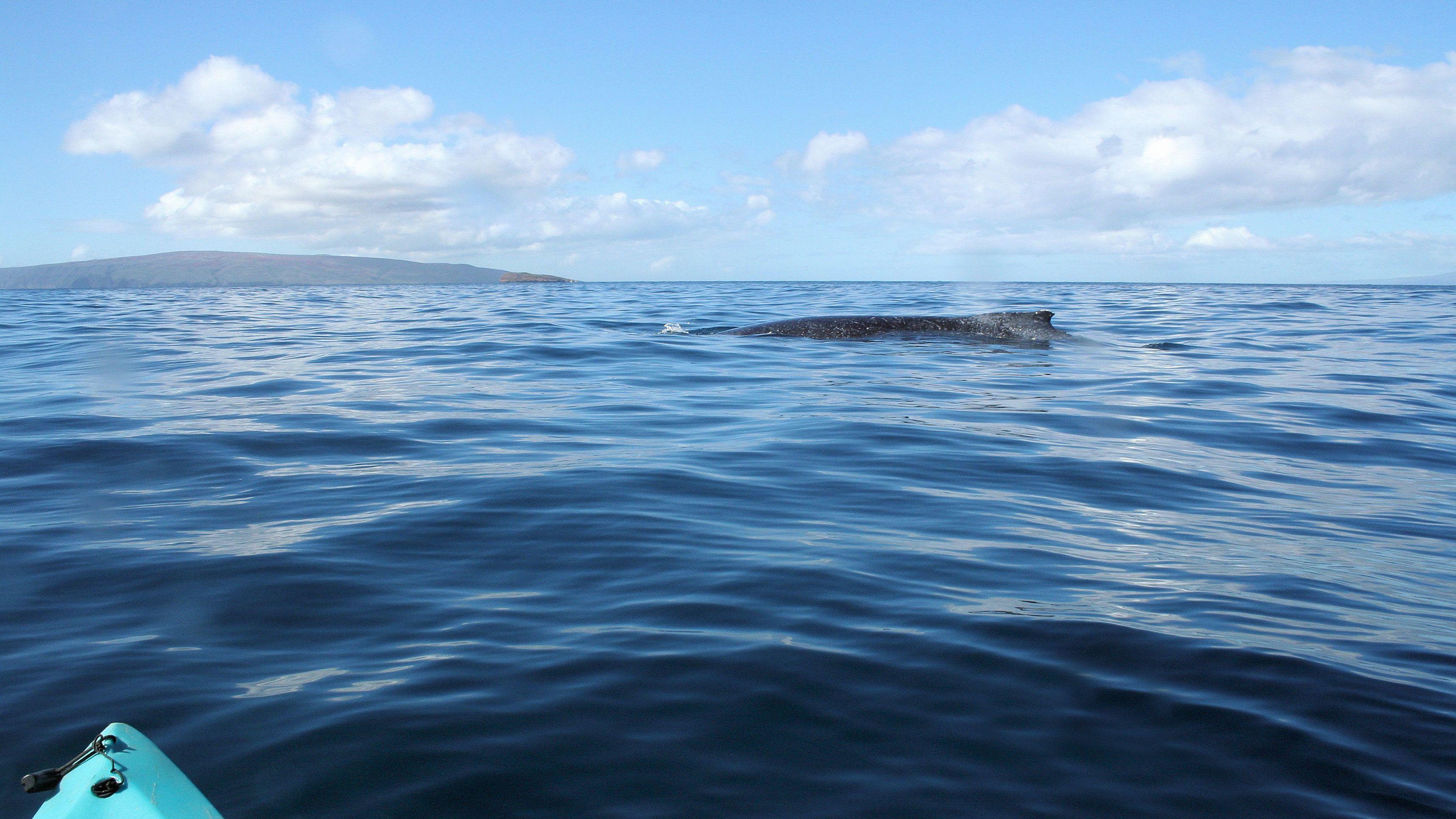 Whale breaching surface near kayak in Maui