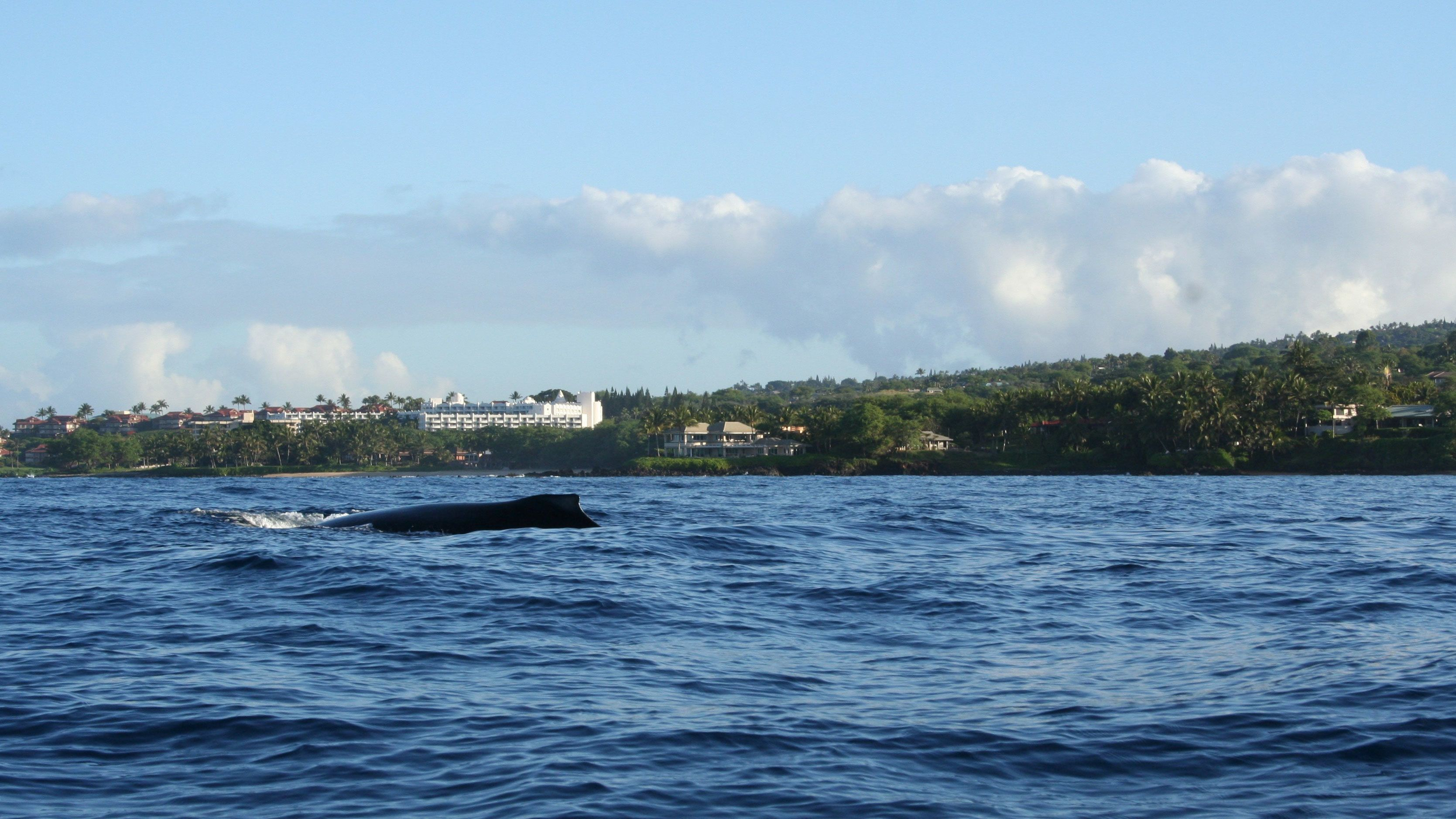 Whale breaching surface in Maui