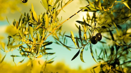 Olives on a tree in Peloponnese, Greece