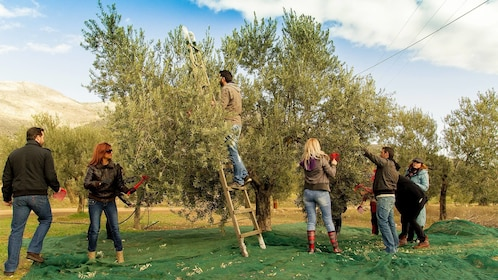 Group picking fresh olives on the olive tour in Peloponnese, Greece