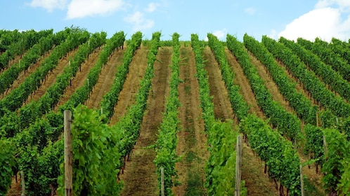 a patch of vineyard in Washington