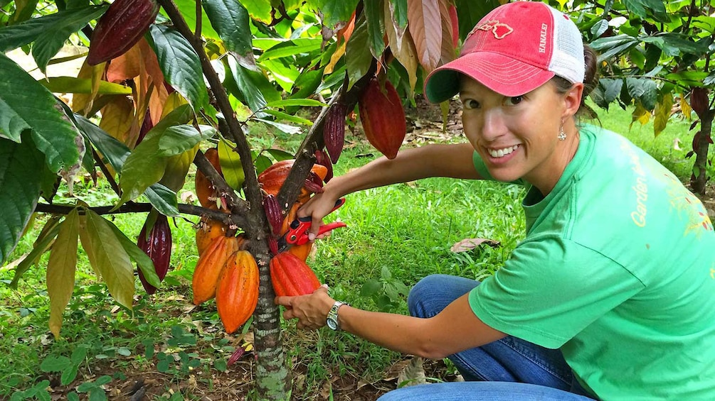 person cutting cacao pod from tree in kauai