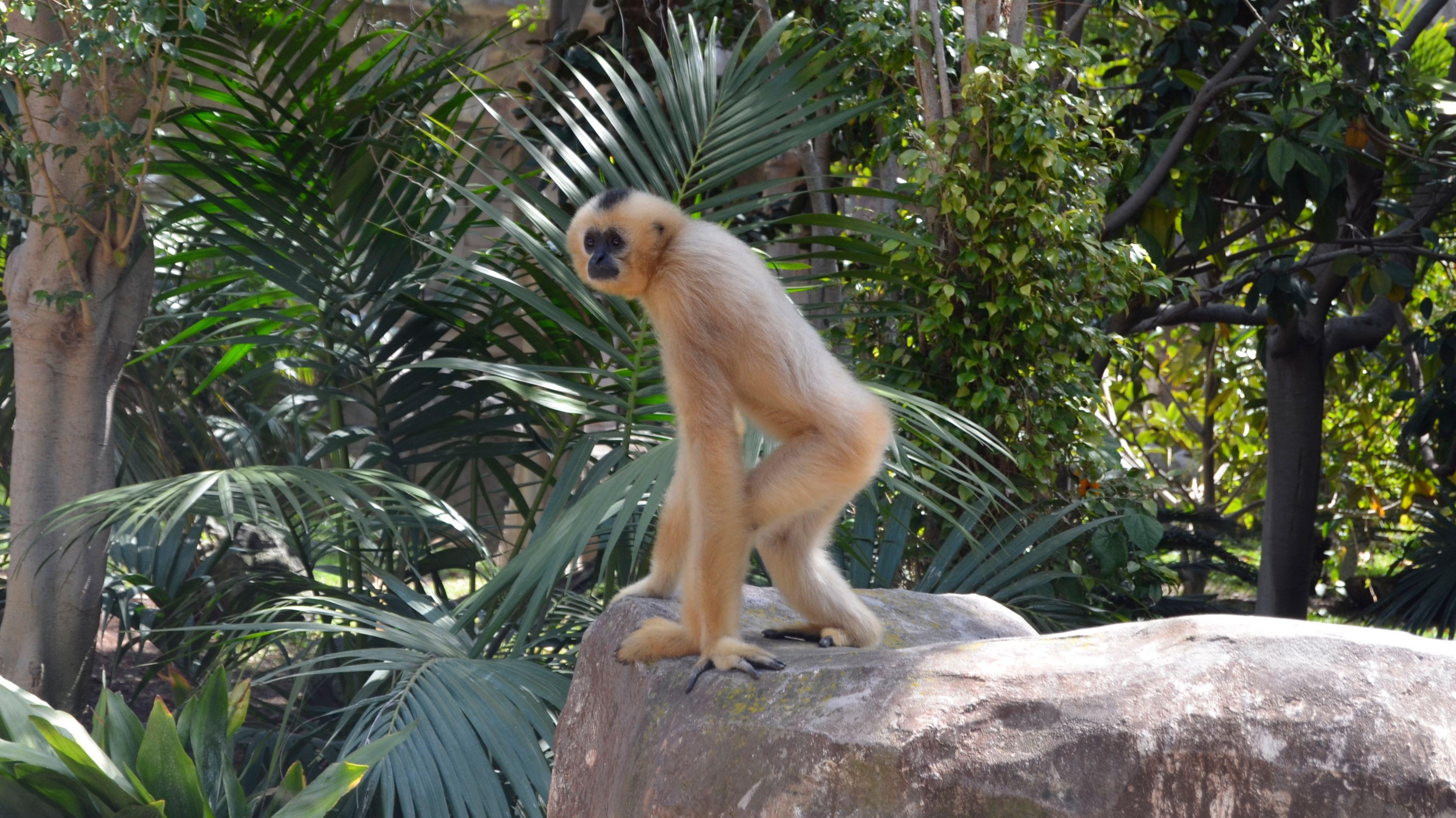 A fuzzy monkey stands on a rock near ferns in Bioparc Fuengirola in Malaga