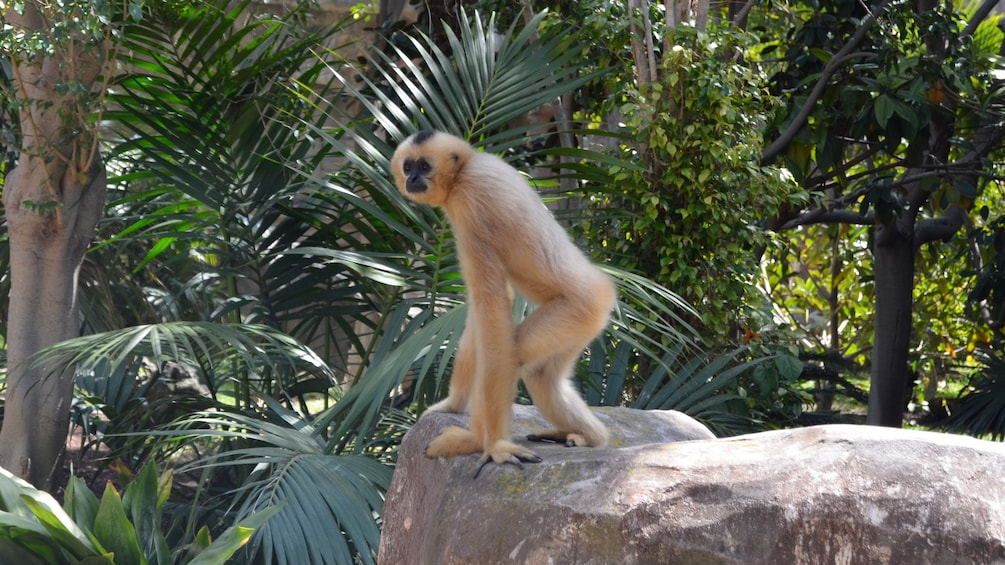 Show item 10 of 10. A fuzzy monkey stands on a rock near ferns in Bioparc Fuengirola in Malaga