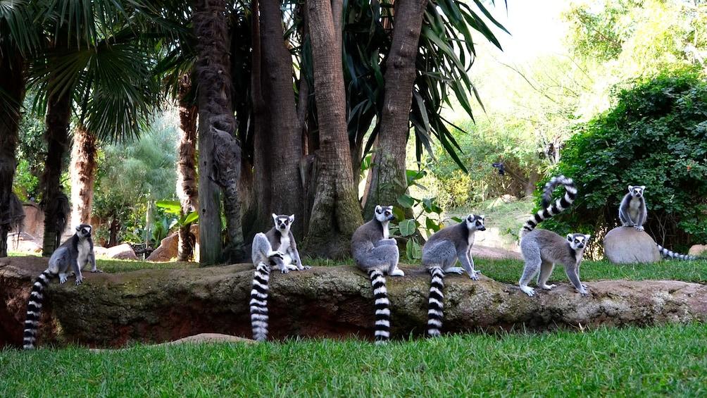 Show item 1 of 10. Six lemurs sit on a grass ledge inBioparc Fuengirola in Malaga
