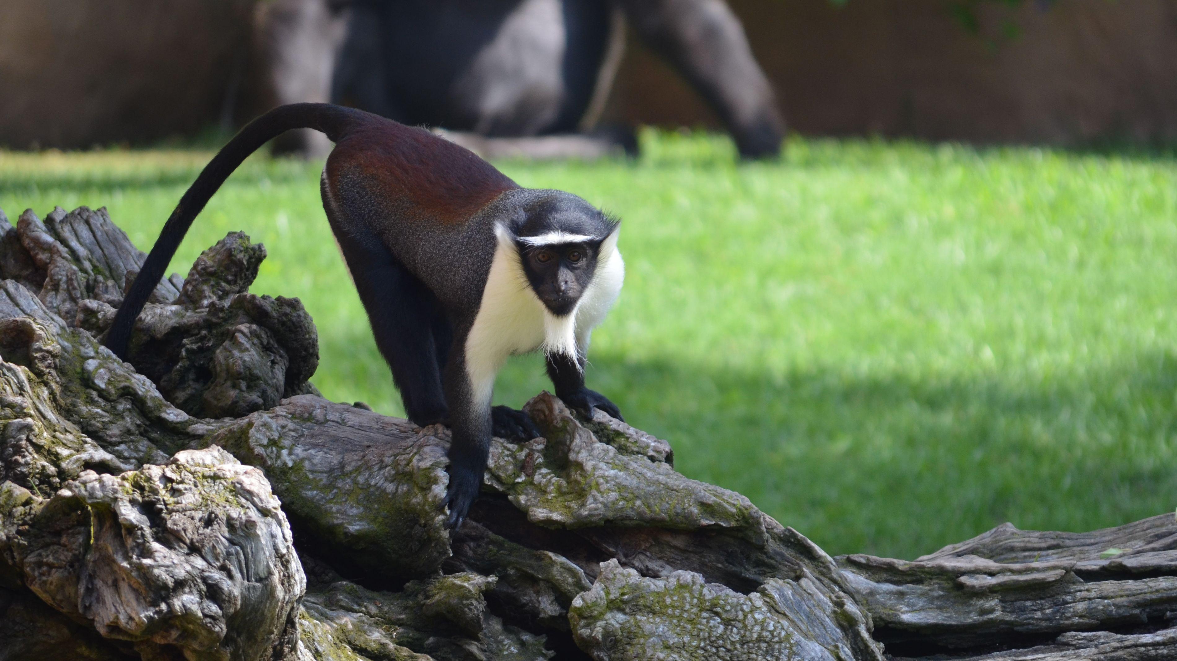 Small monkey in enclosure at Bioparc Fuengirola in Malaga