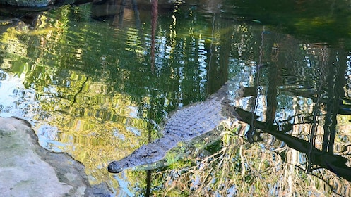 An aligator in water in Bioparc Fuengirola in Malaga