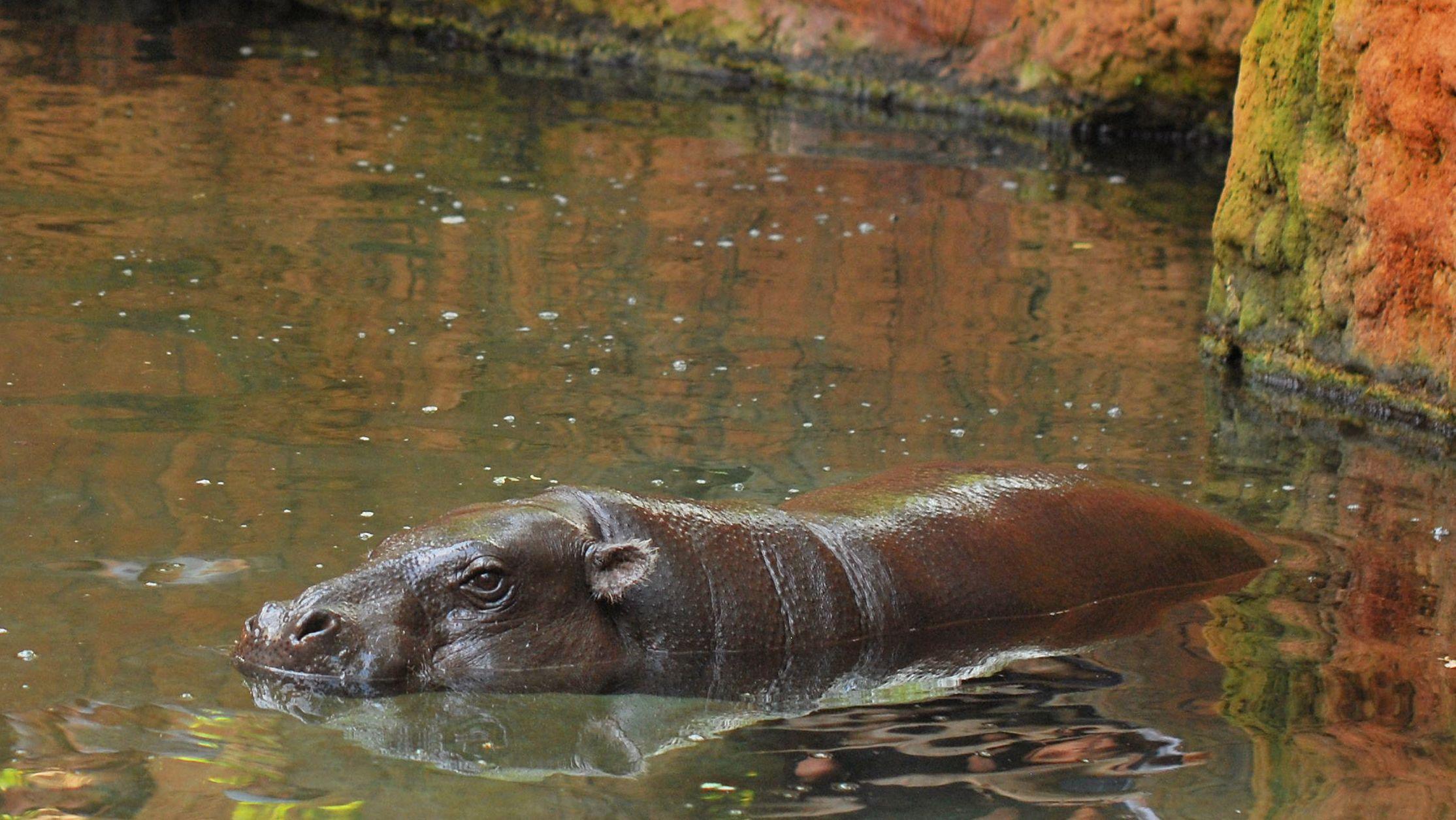 Hippopotamus wading in water of enclosure at Bioparc Fuengirola in Malaga