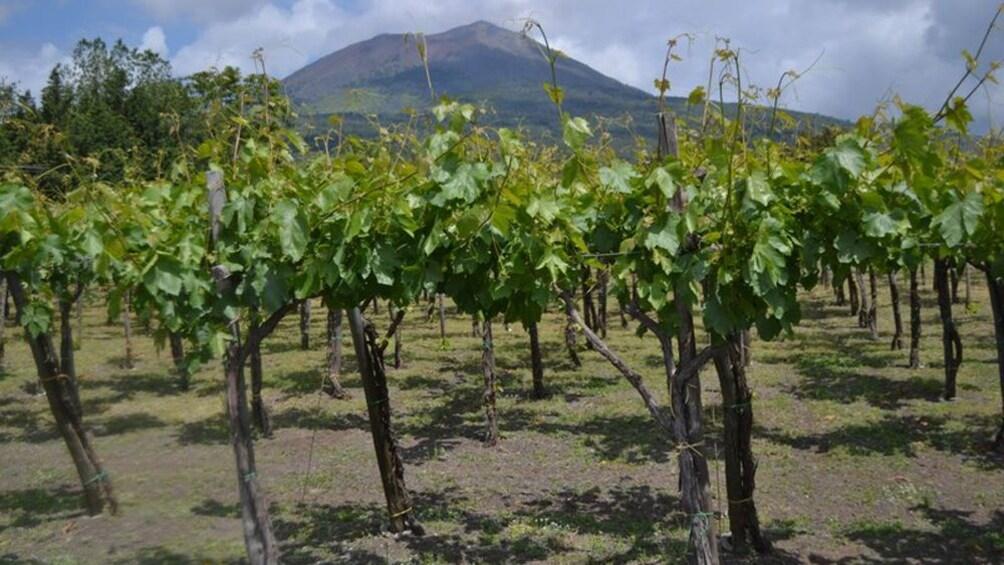 Åpne bilde 2 av 6. vineyard in italy