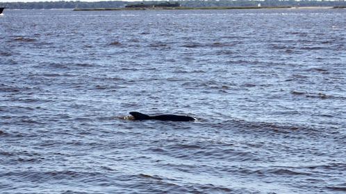 Porpoise in the water off the coast of Charleston