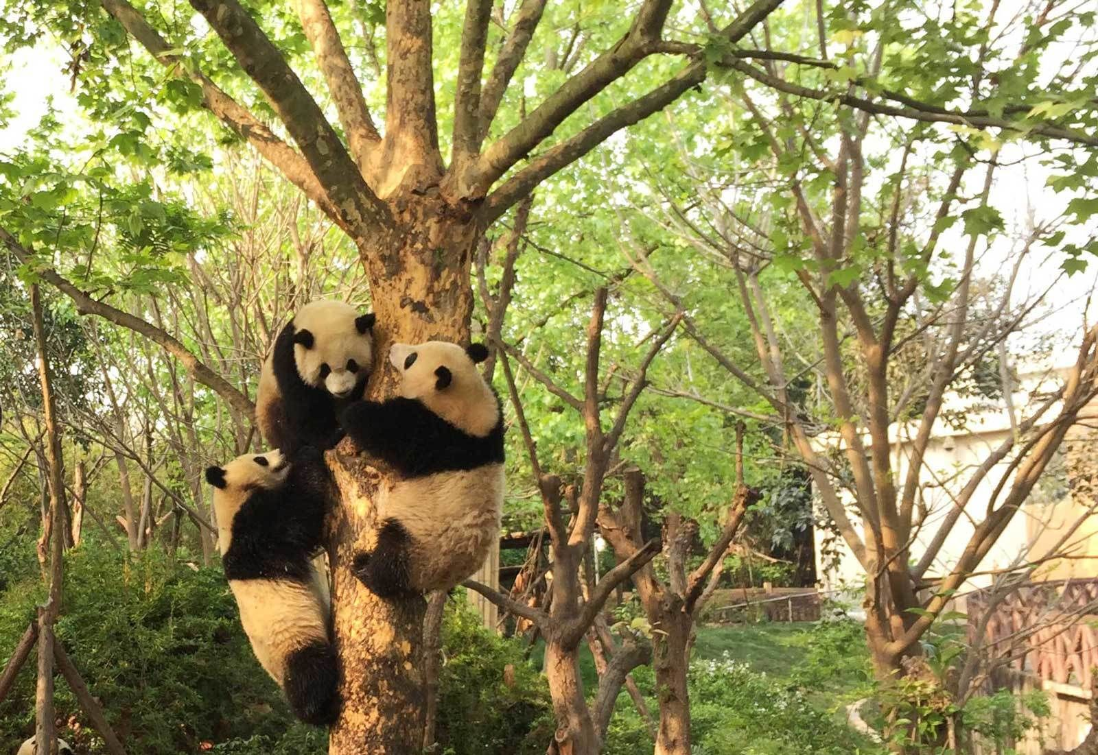 Half-Day Tour to Chengdu Research Base of Giant Panda Breeding