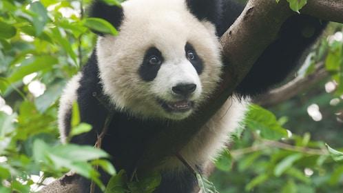 Close up of panda hanging in tree.