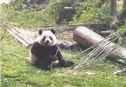 Half-Day Tour to Chengdu Research Base of Giant Panda Breeding