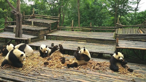 Several pandas playing in straw in research base.