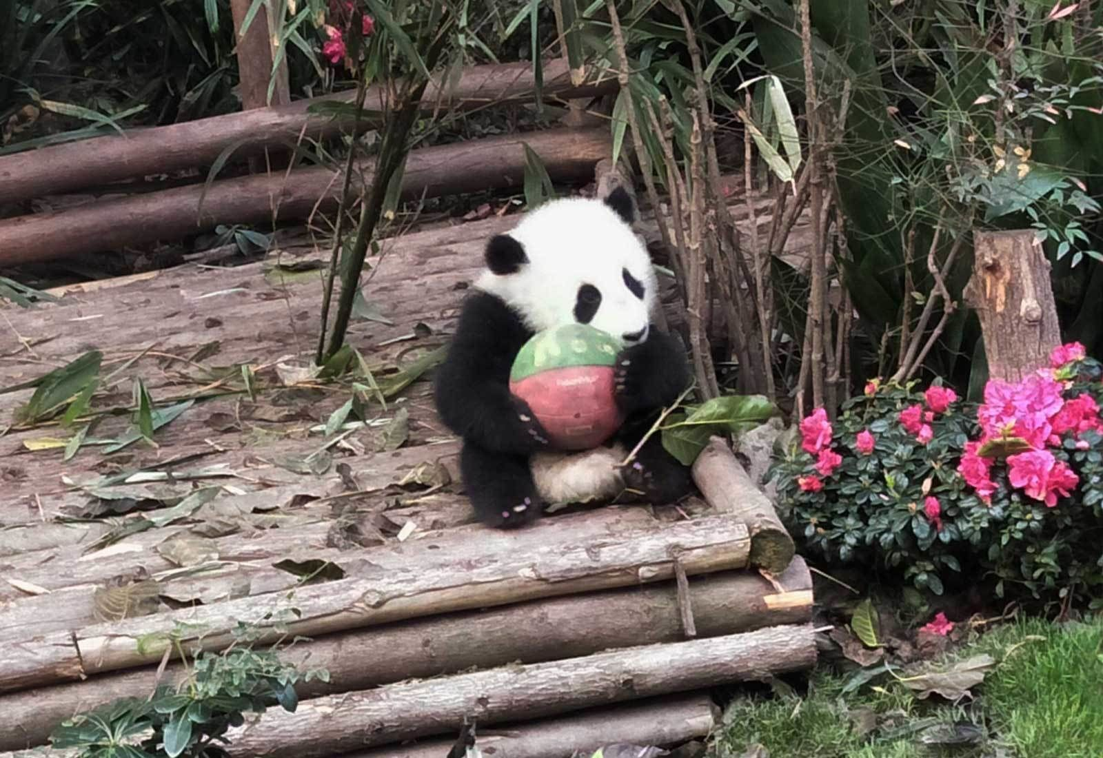 Private Chengdu Panda Visit & Personalised City Sites Tour