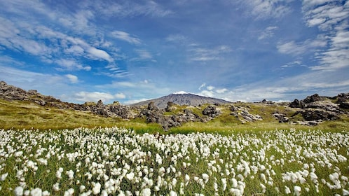 wild flowers blooming in the fields in Reykjavik