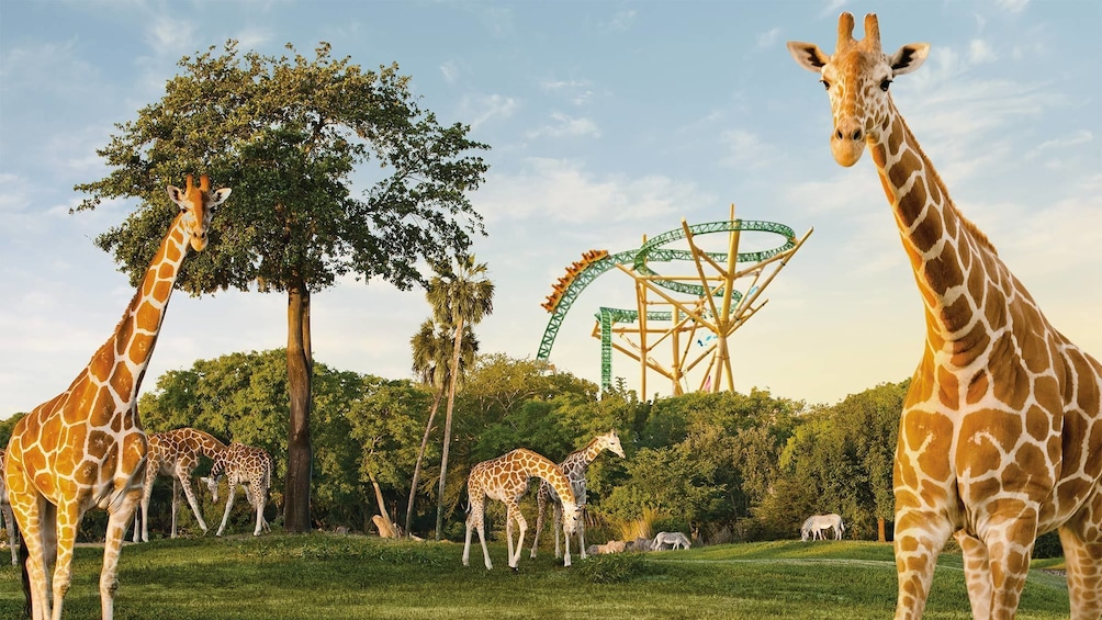 Show item 10 of 10. Giraffes at Busch Gardens Tampa Choose Your Adventure in Tampa