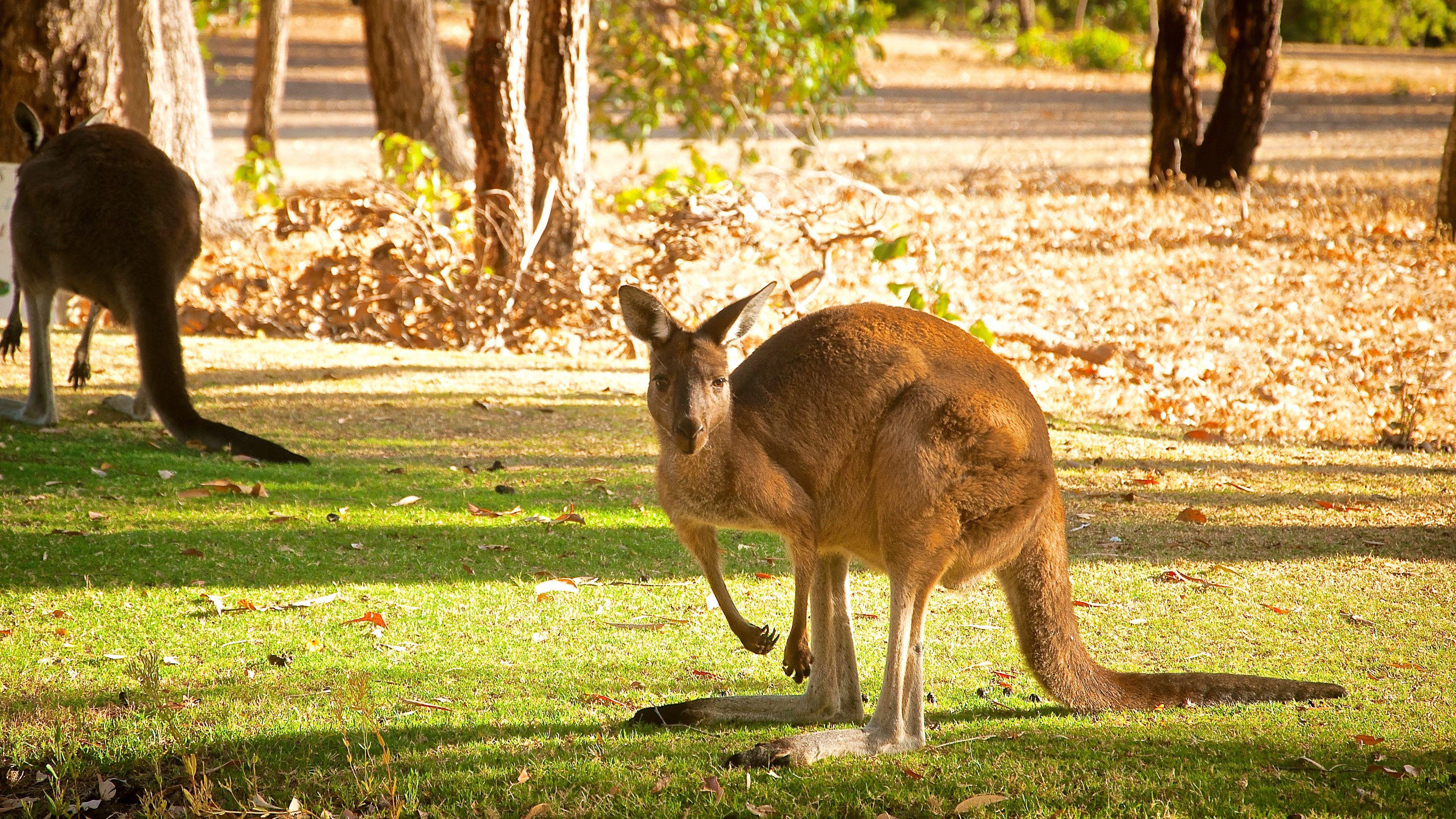 kangaroos in grass