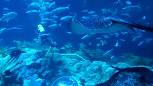 A scuba diver in a tank with fish and manta rays