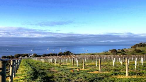 Vineyard on Kangaroo Island