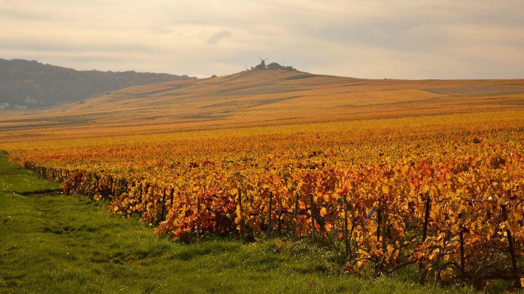 Vineyards in Reims