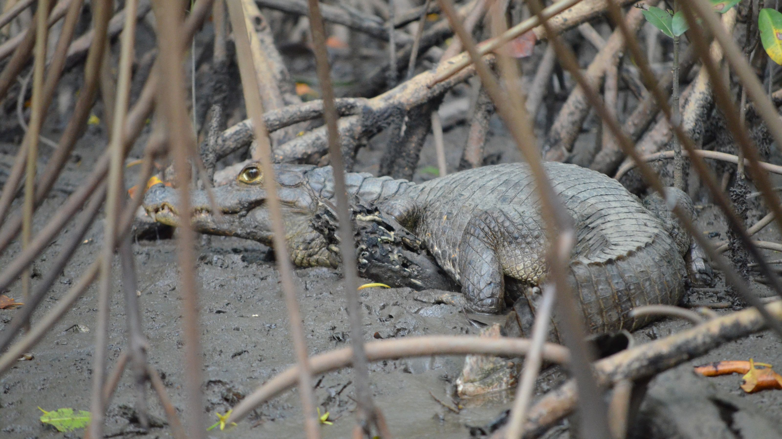 Small alligator on shore in Trinidad