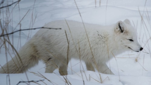White fox camouflaging into snow.