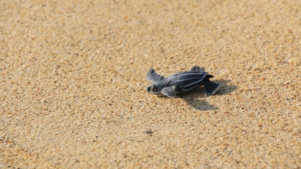 View of a turtle on the Turtles Release in Huatulco, Mexico
