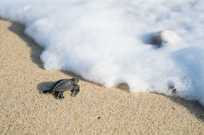 Baby Turtle Release Experience