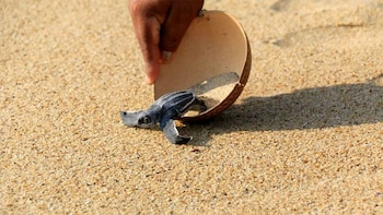 Baby Turtles Release Experience