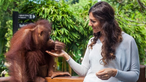 woman feeding and orangutan