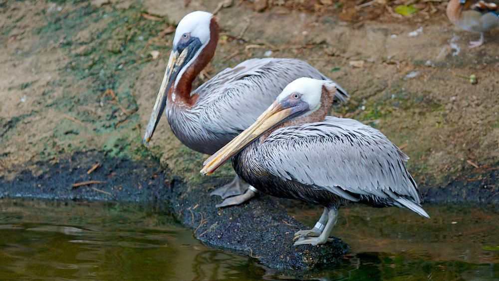 Pair of grey pelicans at National Aviary in Pittsburgh