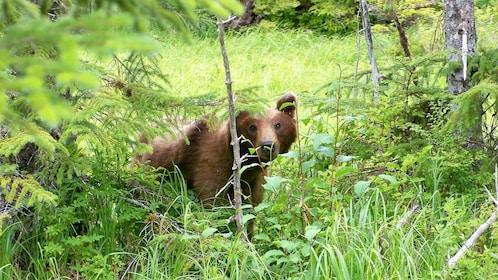 Bear peering at camera through trees.
