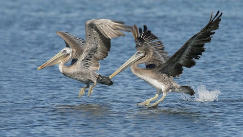 Brown pelicans in Cancun