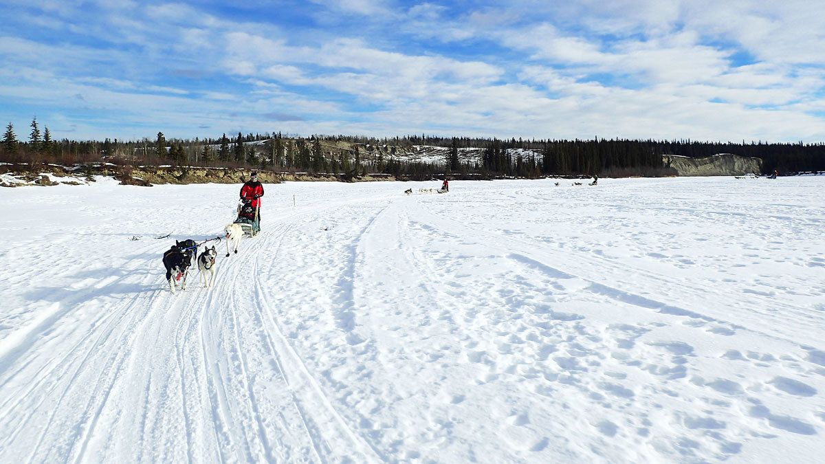 sled pulling dogs on snow field